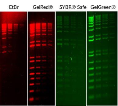 biotium-stains-red-and-green-jun19